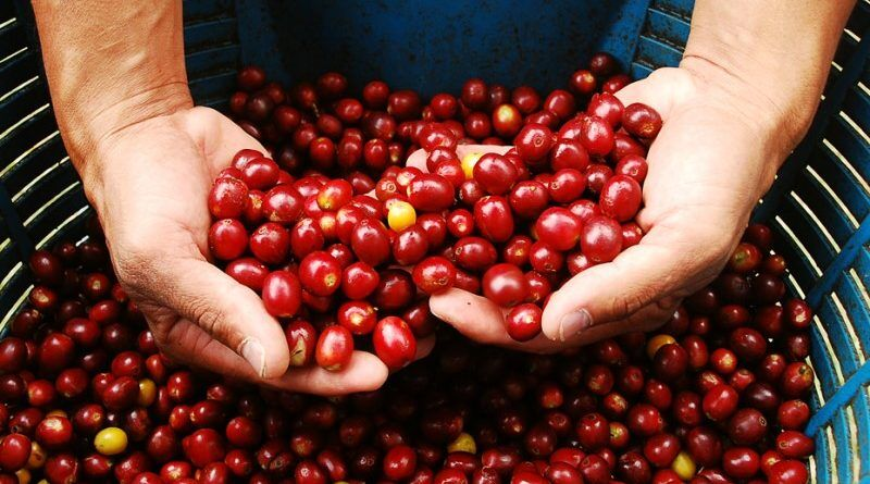 Colombian cherries carefully picked to be processed into specialty coffee beans
